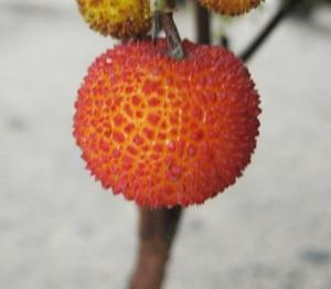 赤くなったイチゴの木 ♡