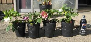 クリスマスローズ ダブル咲き 木口交配種使用 3年生苗の写真依頼苗