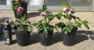クリスマスローズ セミダブル咲き 木口交配種使用 3年生苗の依頼写真苗