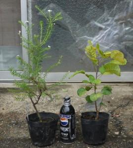 ライスフラワー 3年生苗 とスモークツリー・ゴールデン スピリット 3年生苗 の写真依頼苗