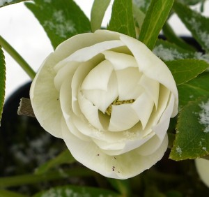 クリスマスローズ ダブル咲き 3年生苗 の写真依頼苗