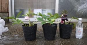 クリスマスローズ ダブル咲き、グリーン系 、ブラック系 3年生苗 の写真依頼苗