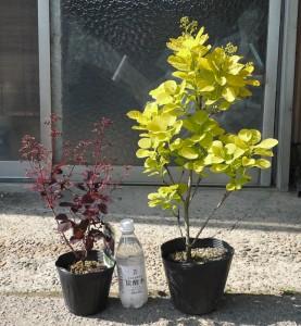 スモークツリー・ゴールデン スピリット 4年生苗 とベルベット クローク 3年生苗 の写真依頼苗