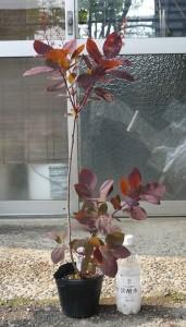 スモークツリー・グレース 3年生苗 の写真依頼苗