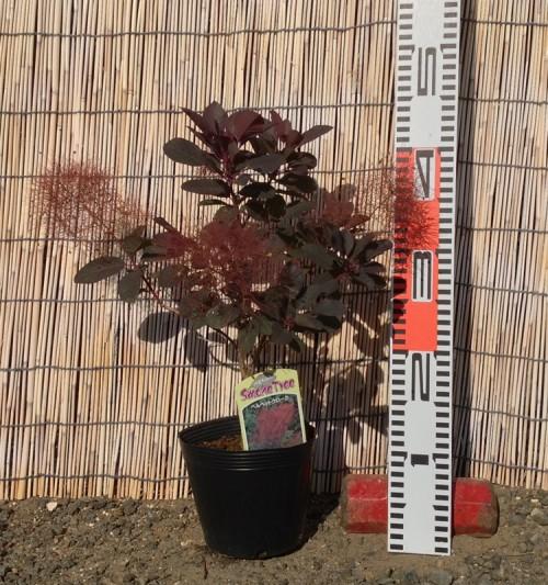スモークツリー・ベルベット クローク 3年生苗の写真依頼苗