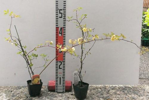 モッコウバラ 黄八重 2年生苗×2ポットの苗写真