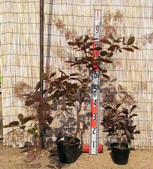 スモークツリー・グレース 4年生苗とスモークツリー・ベルベット クローク 3年生苗の写真依頼苗