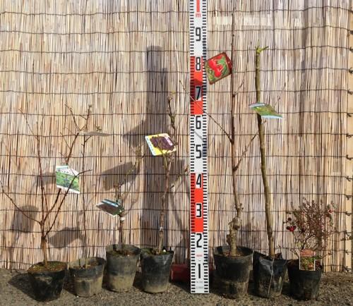 さくらんぼ、とげなしタラの木などの本日の発送