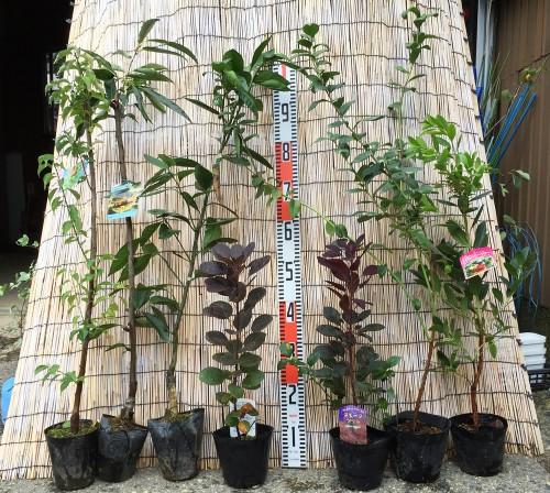 栗、スモークツリー、イチゴの木、ブルーベリー・チャンドラーなどの本日の発送苗