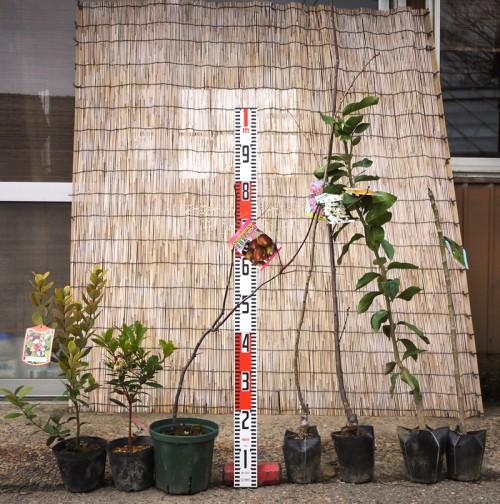 フェイジョア、ナツメ、とげなしタラの木の苗などの本日の発送苗