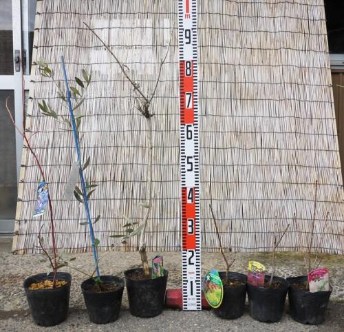 オリーブ、スモークツリー、イチジクの本日の発送苗