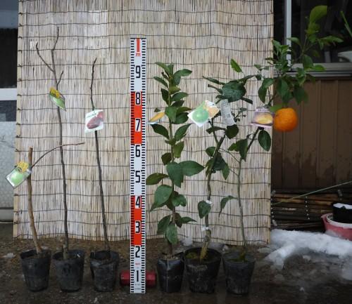 イチジクイチジク、柑橘類苗の本日の発送苗