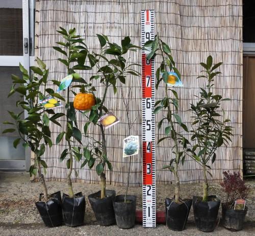 ライム、柚子、金柑、桜などの本日の発送苗
