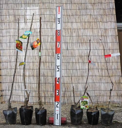 サクランボ、柿、桜、柚子などの本日の発送苗
