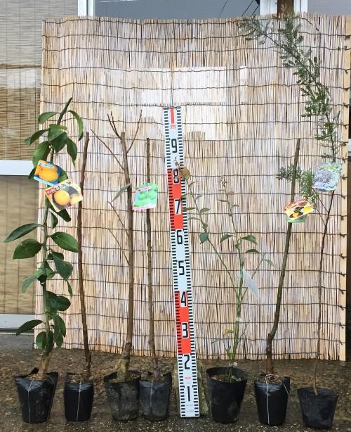 あんず、柿、梅、ブルーベリー、ミモザなどの本日の発送苗