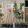 ロドレイア、リンゴの木、みかんなどの発送苗