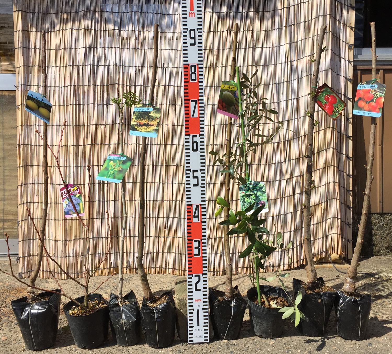 ブルーベリー、タラの木、オリーブ、さくらんぼなどの本日の発送苗