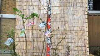 ビルベリー、タラの木、桜、ビバーナムなどの本日の発送苗