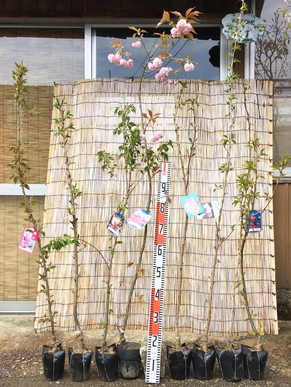 桜、ぶどう、びわ、みかんなどの本日の発送苗
