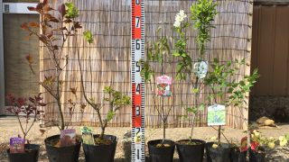 スモークツリー、ジューンベリー、利休梅、モッコウバラなどの本日の発送苗