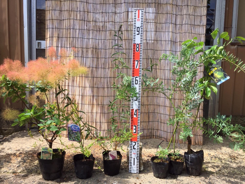 スモークツリー、ビルベリー、ブットレア、ミモザなどの本日の発送苗