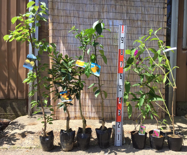 アンズ、柑橘類、ブットレアなどの本日の発送苗