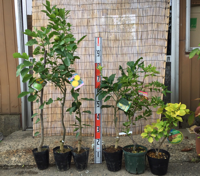 イチジク、柑橘類、ナツメ、スモークツリーなどの本日の発送苗