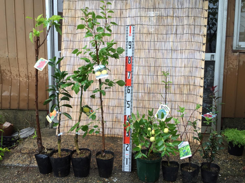 サクランボ、柑橘類、アンズ、ナツメ、葉さんしょう、ハスカップ、椿などの本日の発送苗