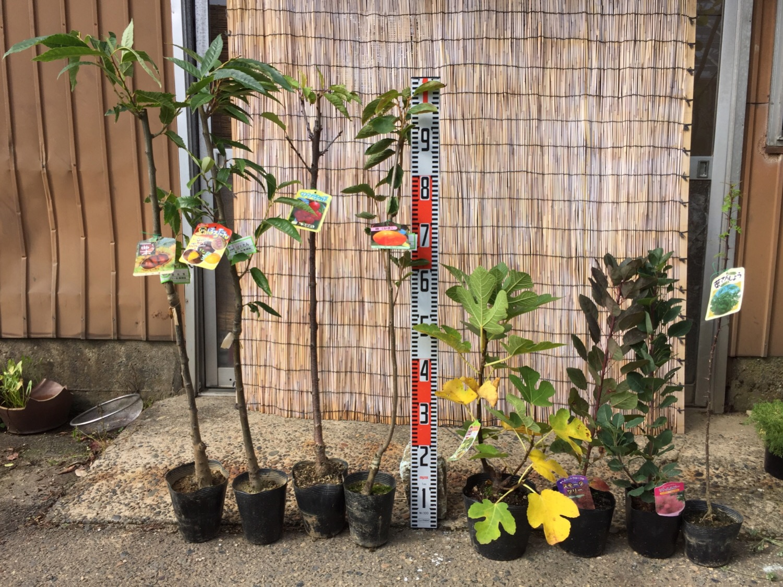 栗、さくらんぼ、柿、いちじく、スモークツリー、葉さんしょうなどの本日の発送苗