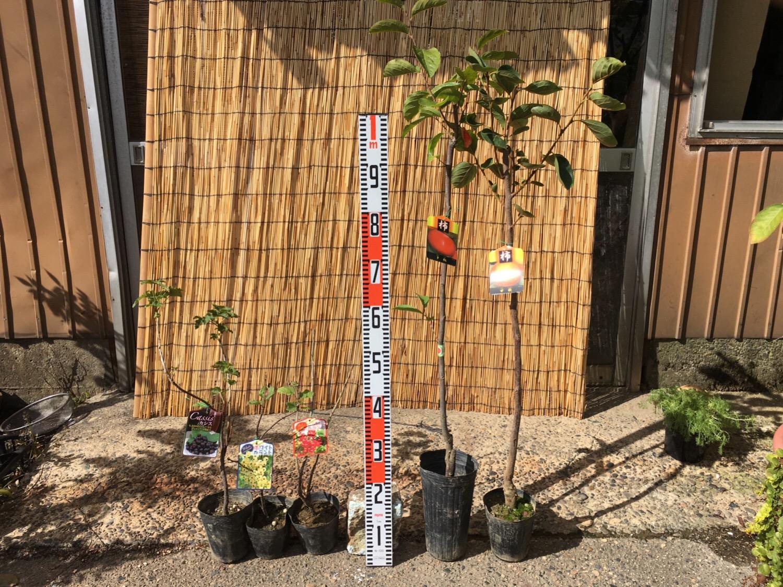カシス、フサスグリ、柿などの本日の発送苗