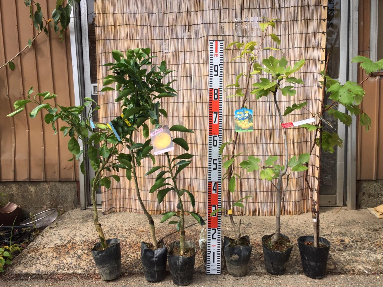 柑橘類、サクランボ、無花果、葡萄などの本日の発送苗