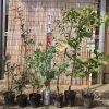 葉さんしょう、椿、ゼノビア、うめ、アンズ、桃、リンゴ、ビワ、無花果、葡萄などの本日の発送苗