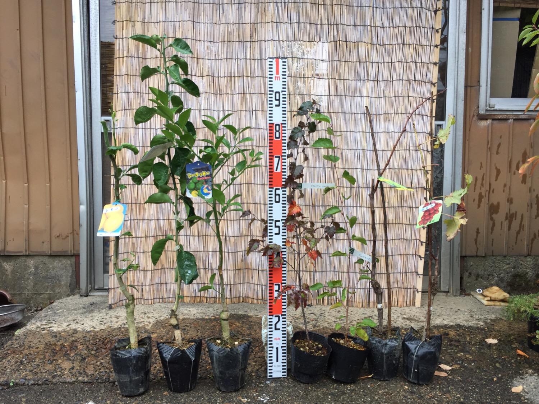 柑橘類、白樺、葡萄などの本日の発送苗