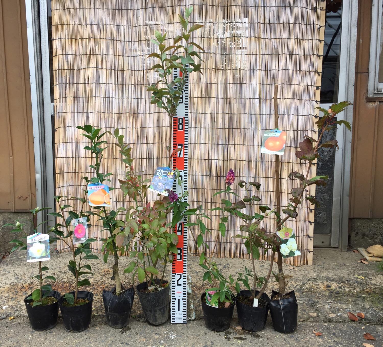 椿、柑橘類、ブルーベリー、ブットレア、ビバーナム、柿などの本日の発送苗