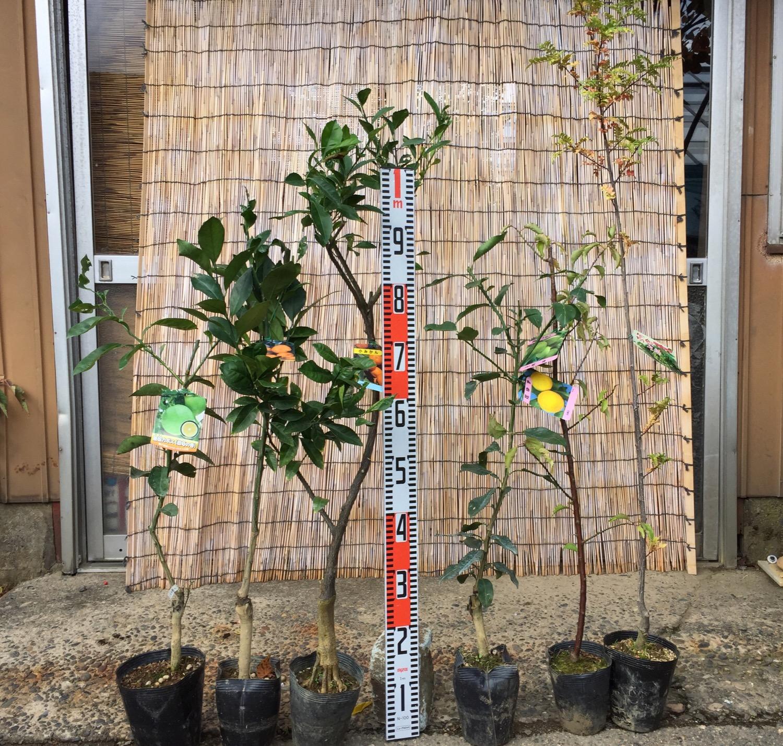 柑橘類、うめ、山椒、栗、ツバキなどの本日の発送苗