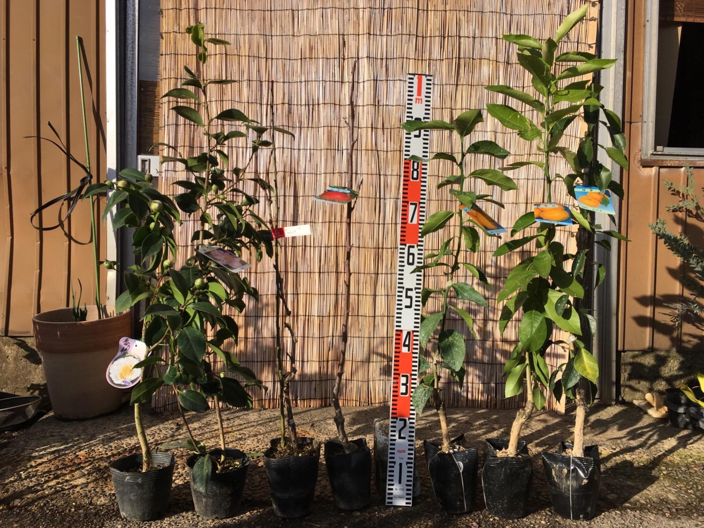 椿、ブドウ、林檎、柑橘類などの本日の発送苗
