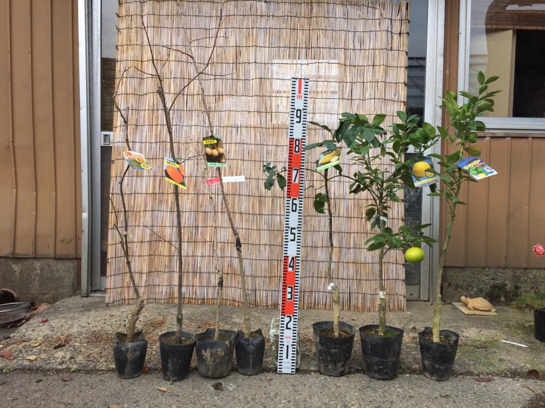 キウイ、柿、銀杏、柑橘類などの本日の発送苗