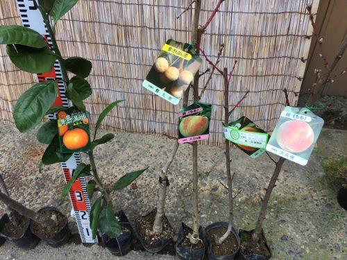 ナシ、リンゴ、柑橘類、銀杏、モモなどの本日の発送苗