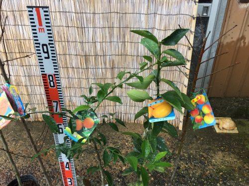 葡萄、柿、桃、柑橘類、梅などの本日の発送苗