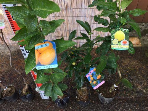 つばき、アーモンド、キウイ、柑橘類などの本日の発送苗