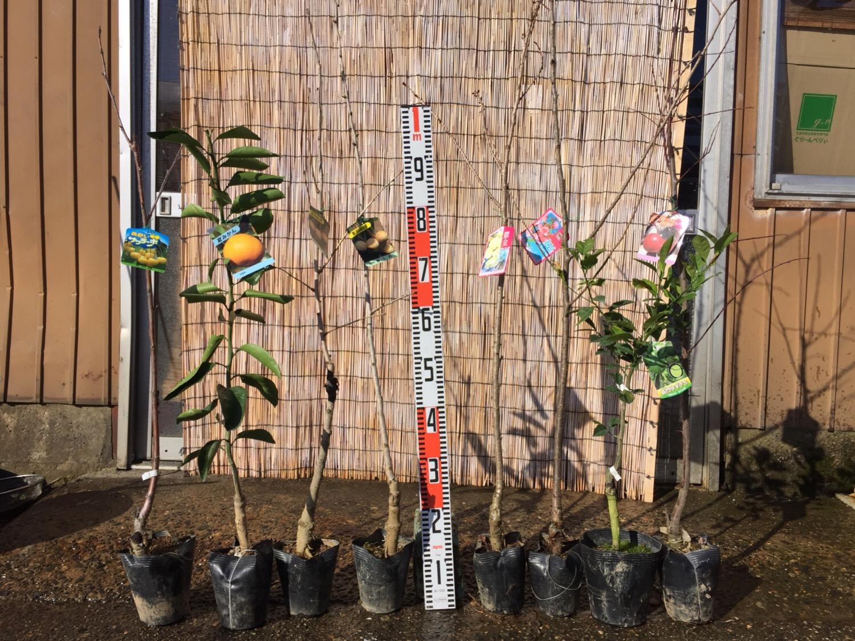 サクランボ、柑橘類、銀杏、桜、スモモなどの本日の発送苗