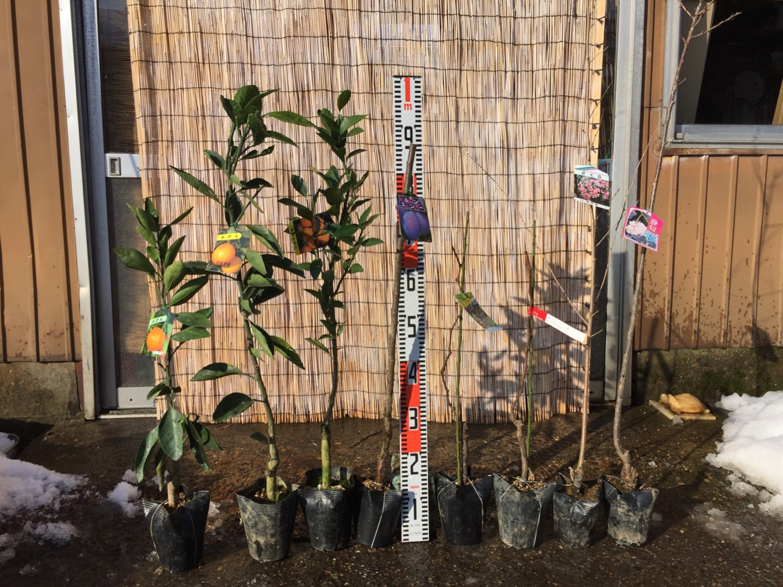 柑橘類、プルーン、葡萄、桜などの本日の発送苗