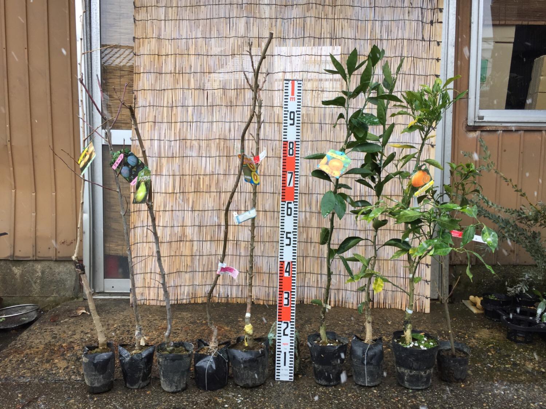 銀杏、プルーン、ラ・フランス、林檎、キウイ、柑橘類、しきみなどの本日の発送苗