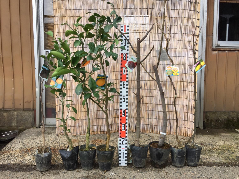 葡萄、柑橘類、イチジク、カリンなどの本日の発送苗