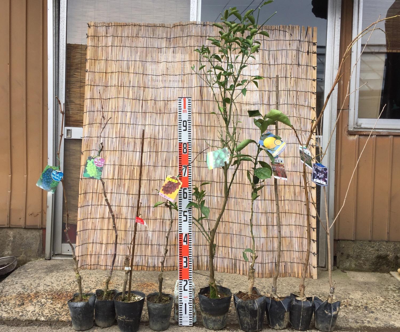 葡萄、柑橘類、梅、桃、桜などの本日の発送苗