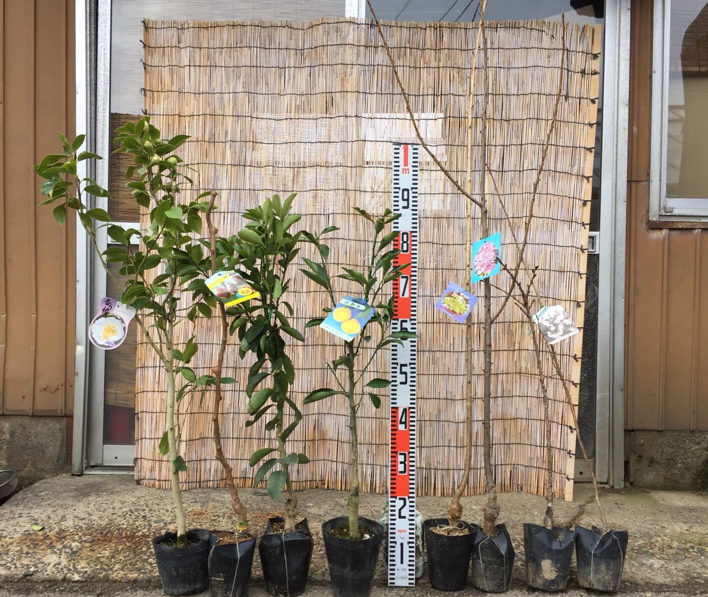 椿、キウイ、柑橘類、桜などの本日の発送苗