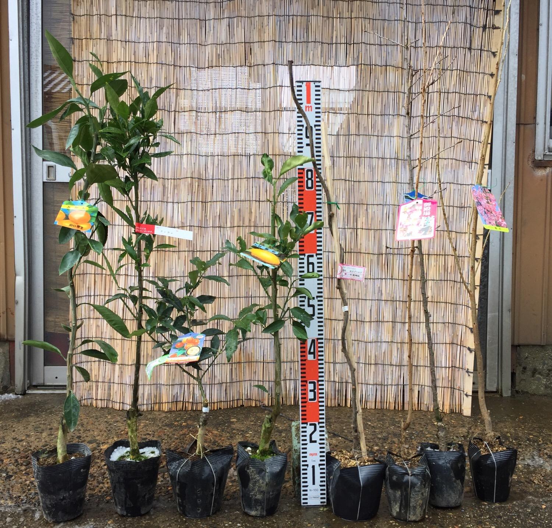 柑橘類、キウイ、桜などの本日の発送苗