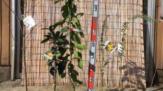 梅、柑橘類、ミモザ、スモークツリー、ジューンベリーなどの本日の発送苗
