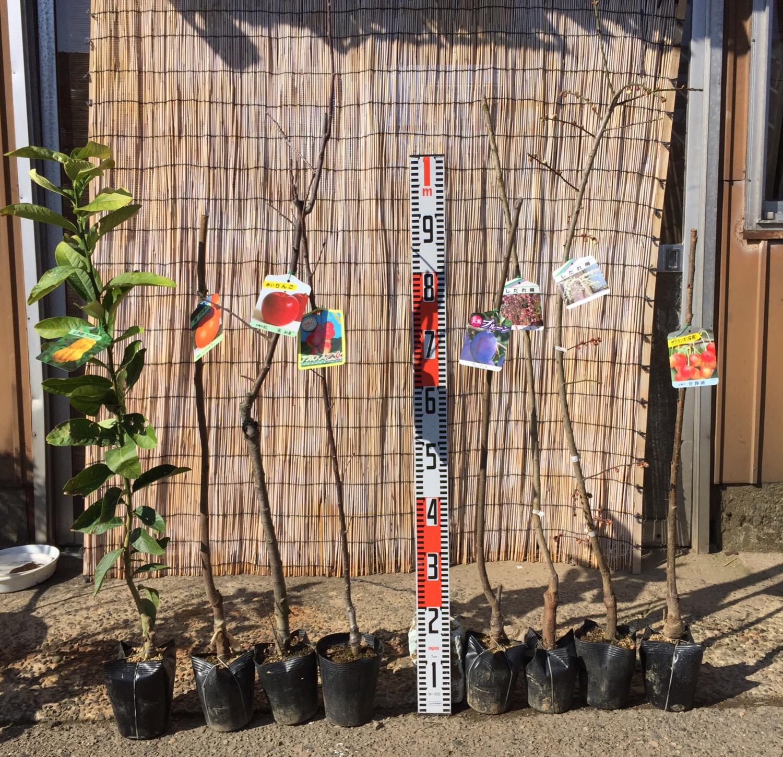 柑橘類、柿、りんご、プルーン、梅、サクランボなどの本日の発送苗