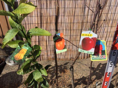 柑橘類、柿、りんご、プルーン、桜、サクランボなどの本日の発送苗